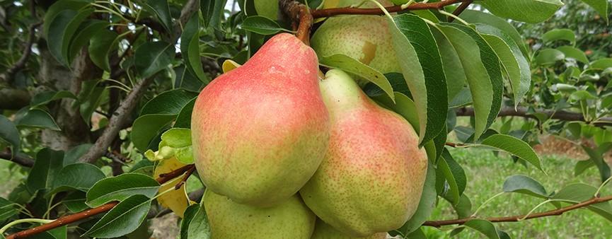Innovazione e nuove possibilità in frutticoltura