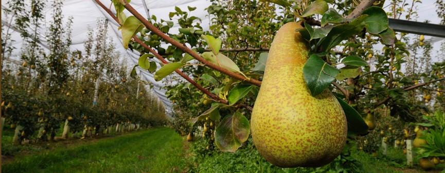 Pero, melo e frutteto sostenibile: risultati di una sperimentazione