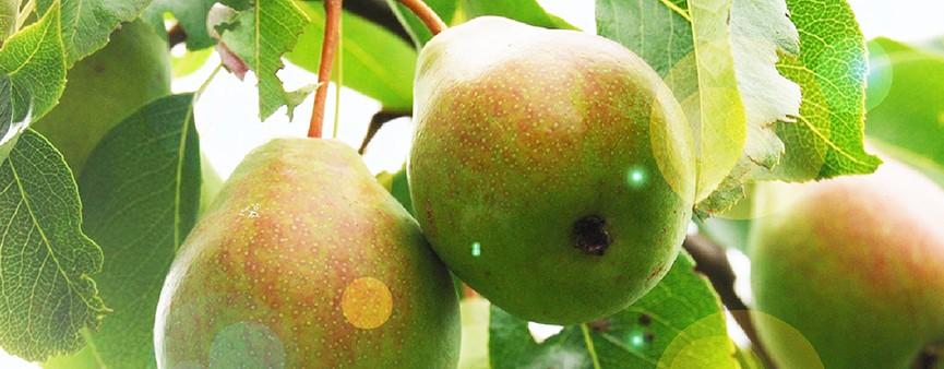 Il punto di Fruitimprese Emilia Romagna sulla frutta estiva
