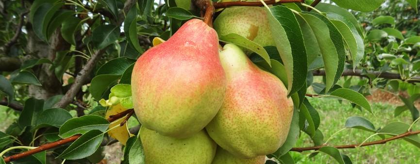 La nuova Pac anche per i frutticoltori