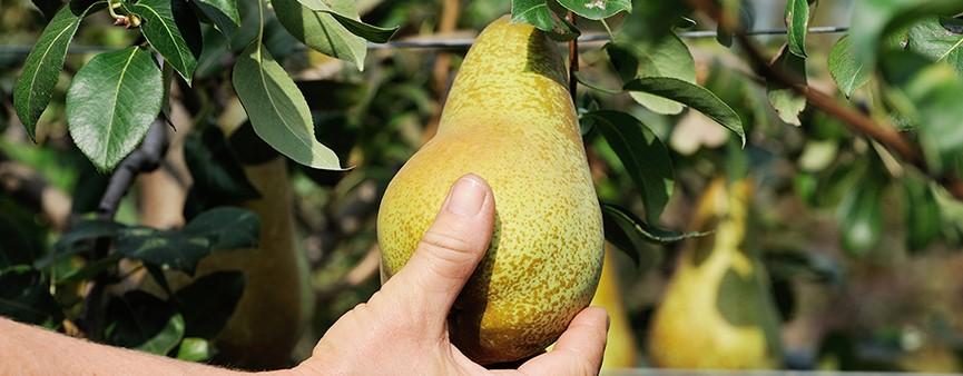 La nutrizione del pero: le proposte di Timac Agro